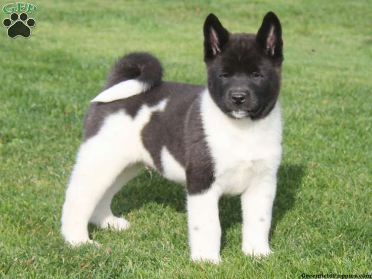 Akita Puppies For Sale In PA...IN PA...IN PA!!!!!!!!!!!!!!!!!!!!!!!!!!!!!!!!!!!!!!!!!!!!!!!!!!!!!!!!!!!!!!!!!!!!!!!!!!!!!!!!!!!!!!!!!!!!!!!!!!!!!!!!!!!!!!!!!!!!! <3<3<3