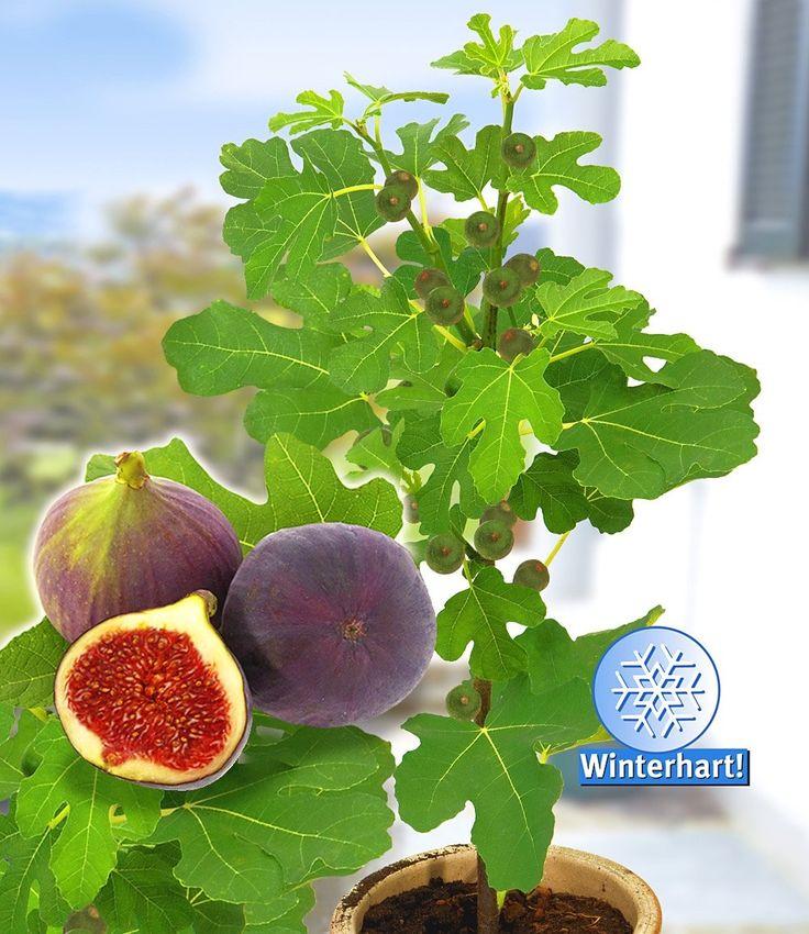 Frucht-Feige 'Rouge de Bordeaux': Diese besondere Züchtung eignet sich…