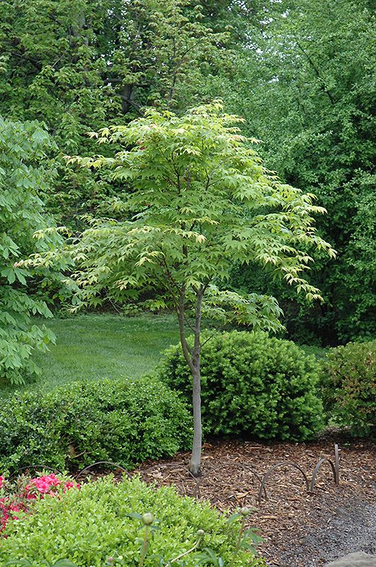 17 best ideas about acer palmatum on pinterest japanese for Maple trees for small gardens