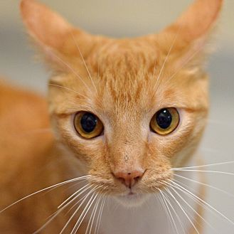 Pictures of 10311262 GRASSHOPPER a Domestic Shorthair for adoption in Brooksville, FL who needs a loving home.
