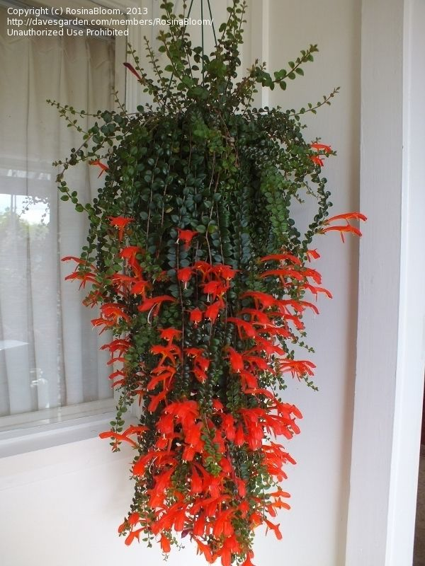 Exterieur Rouge I Really Covet A Columnea; I Like Julia And Microphylla