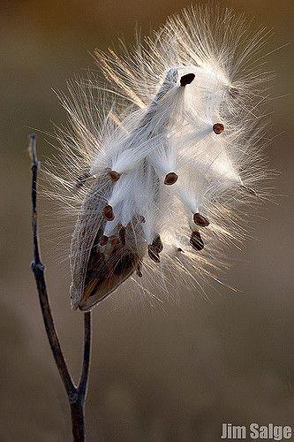 Milkweed Seed Pod by Jim Salge                                                                                                                                                                                 More