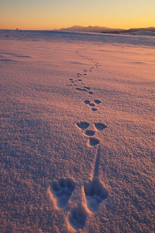Rabbit footprints in the snow, Biei, Hokkaido, Japan, by Kent Shiraishi