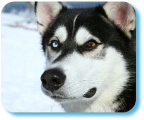 So many people bring a Black Siberian Husky into their homes not really knowing what they are all about or what they can expect