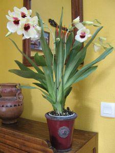 Orchidée cambria en pot