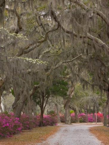 Bonaventure Cemetery with Moss Draped Oak, Dogwoods and Azaleas, Savannah, Georgia, USA