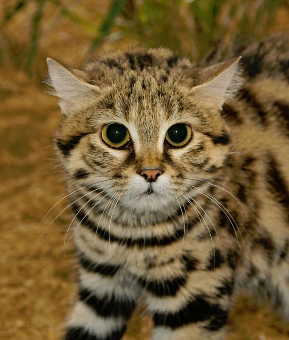 Wild Cats ♥ | Black-Footed Cat