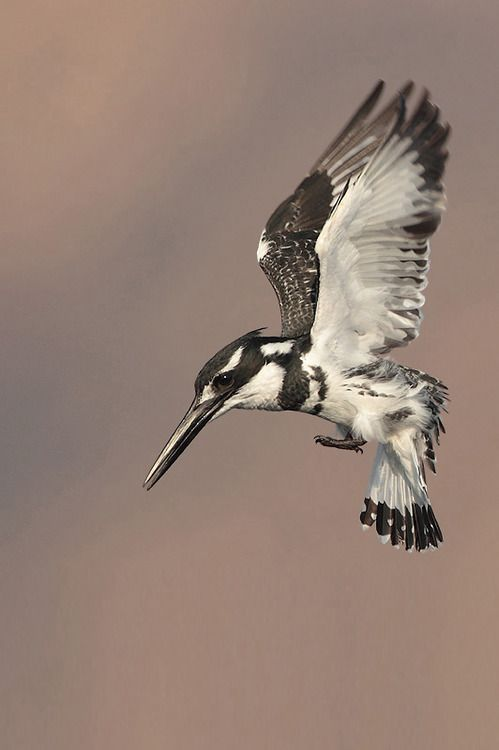 The Pied Kingfisher - Ceryle rudis, is common throughout Sub-Saharan Africa and southern Asia from Turkey to India and China.  by Out Door Photography