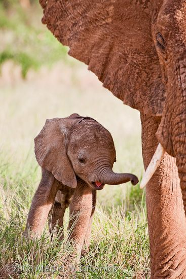 Newborn African Elephant and mother, Samburu, Kenya                                                                                                                                                      Mais