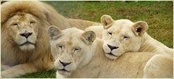 Mogo Zoo - White Lions