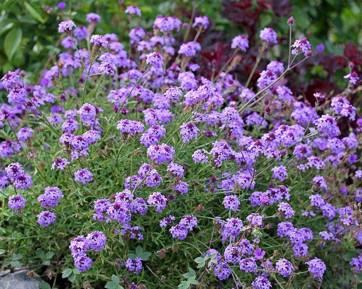 Verbena lilacina �De La Mina�