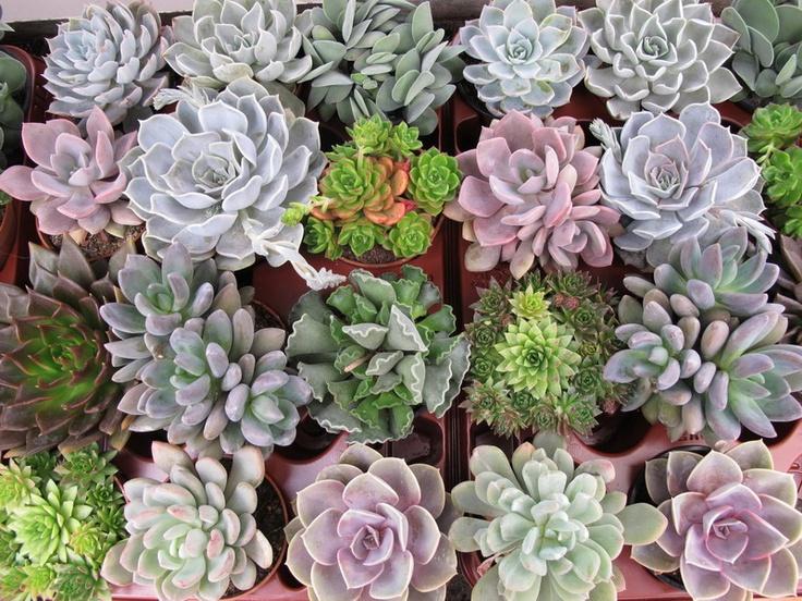 Variedad de suculentas cosas para plantar pinterest - Plantas para estanques de jardin ...