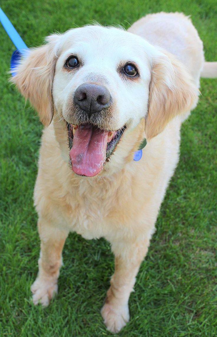 Meet Nana, an adoptable Golden Retriever Dog | Waterville, OH | Nana was found as a stray. She wandered on to a property in rural Ohio in December where she was...