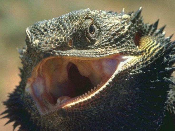Deserts in Africa | Sahara Desert Animals Big Lizard
