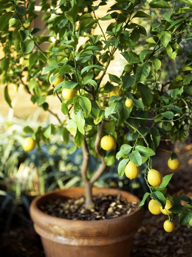 Lemon Trees Love the Outdoors~Learn how to grow from seed.