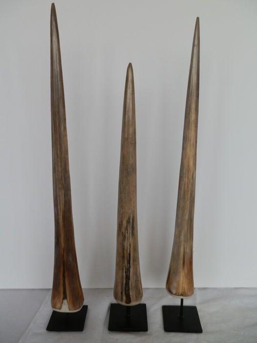 Nu in de #Catawiki veilingen: Trio of fine Swordfish rostrums - Xiphias gladius -  41, 47 and 48cm  (3)