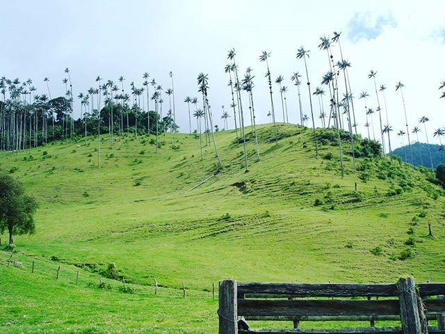La palma de cera árbol nacional de #Colombia #Salento Quindío un destino que te conecta #MyConnectrip °  °  °  #traveling #travelphotography #traveler #nice #travelpics #colombia #Pereira #sky #picoftheday #pictrip #river #hotel http://bit.ly/2qJE7aX