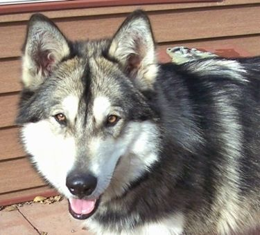 """Raven the wolf hybrid at 10 months old—""""She is a giant Malamute / Timber Wolf / British Columbian Wolf / Mackenzie Valley Wolf cross."""""""