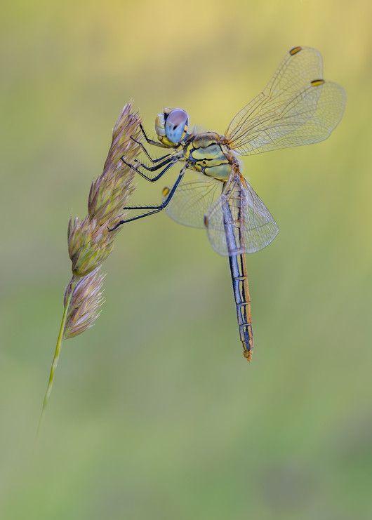 Sympetrum fonscolombii ♀