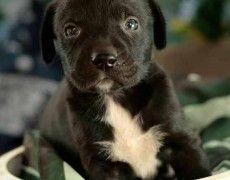 Boxador (Boxer-Lab Mix) Info, Temperament, Training, Puppies, Pictures