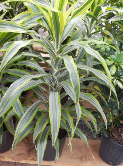 Dracaena Fragrans or corn plant likes bright light but avoid summer sun, moderate to warm temps, and moderate to high humidity. Fertilize biweekly, only twice during winter. Allow soil surface to dry before watering.