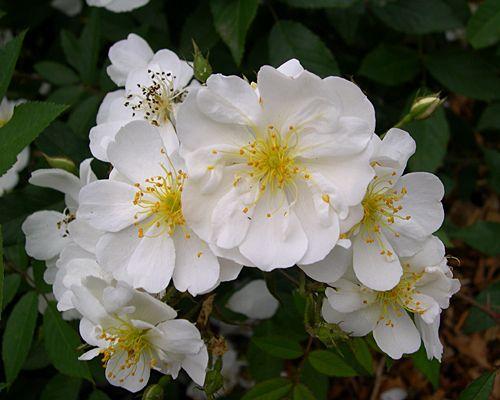 25 beste idee n over enkele roos op pinterest mooie rozen rozen en alleenstaande bloemen - Sterke witte werpen en de bal ...