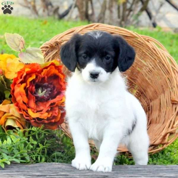 Raine, Jack Russell Mix Puppy
