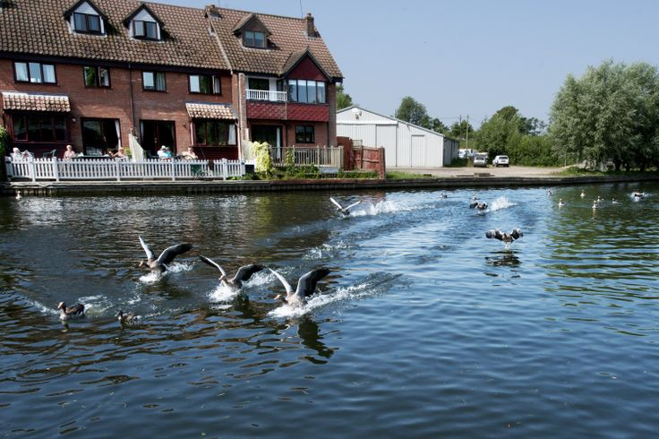 Geese at Wroxham, Norfolk Broads