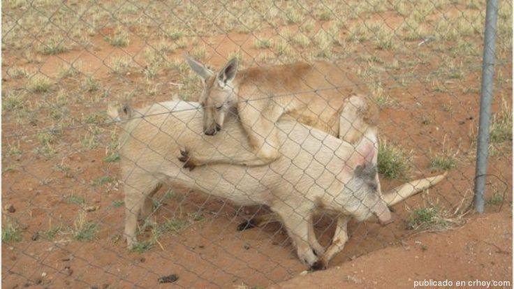 Amorío entre un canguro y una cerdita sorprende al mundo