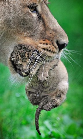 Newborn baby lionBig Cat, Wild, Baby And Mothers Animal, Newborns Baby, Baby Lions, Mothers Daughters, Newborns Lion, Animal Cubs, Lion Cubs