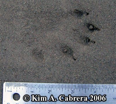giant river otter footprint - Google Search