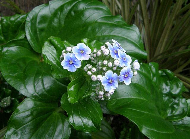 chatham island forget me not - Google Search