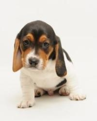 Flash is an adoptable Basset Hound Dog in Santa Cruz, CA. Flash is 2 months old. The Santa Cruz SPCA's adoption package for dogs and cats includes spay/neuter, vaccinations, microchip/registration, an...