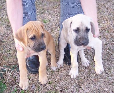 I want one so bad! Black Mouth Cur puppies