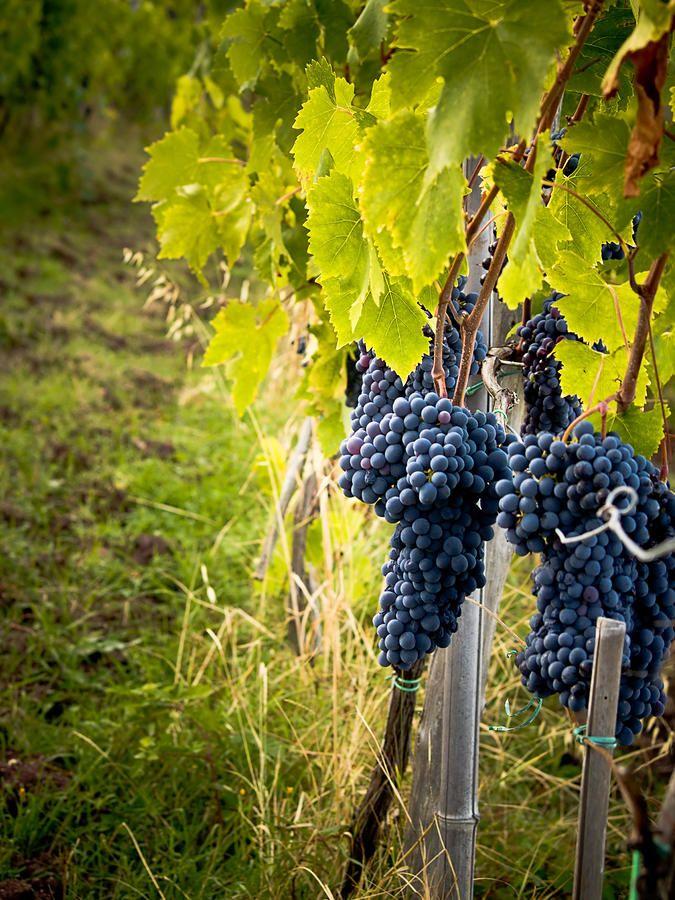 Chianti Grapes Photograph by Jim DeLillo - Chianti Grapes