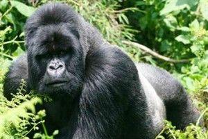 Gorila de montaña: el gorila de llanura, parece a salvo. Pero su compañero, el de montaña, podría desaparecer totalmente en 2025. En situación crítica, sólo se encuentran algunas poblaciones en los alrededores del río Congo: Ruanda, Uganda y Congo.