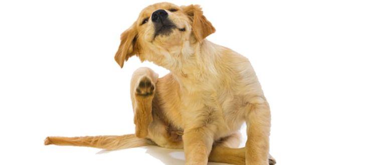 Use o bicarbonato de sódio desse jeito e livre seu cachorro de pulgas e carrapatos para sempre