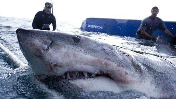 I would hate to be too close, he's a enormous. Shark people have intense drive  and enthusiasm. Sharks will torpedo fearlessly forward until they've caught the bait.