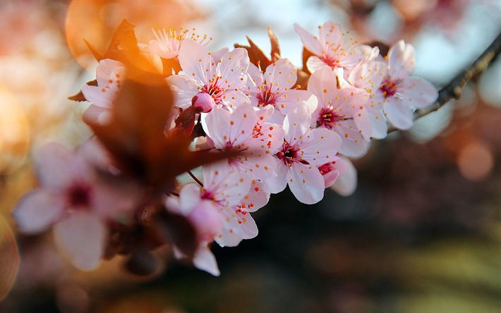 Download wallpapers cherry blossom, pink flowers, cherry branches, first flowers, spring, spring flowering