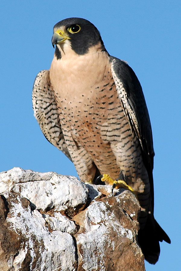 "The Peregrine Falcon, also known as the Peregrine, and historically as the Duck Hawk in North America, is a widespread bird of prey in the family Falconidae. A large, crow-sized falcon, it has a blue-grey back, barred white underparts, and a black head and ""moustache""."