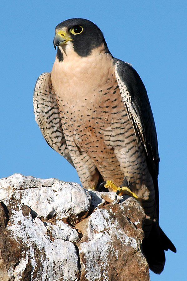 The Peregrine Falcon - my favourite bird.