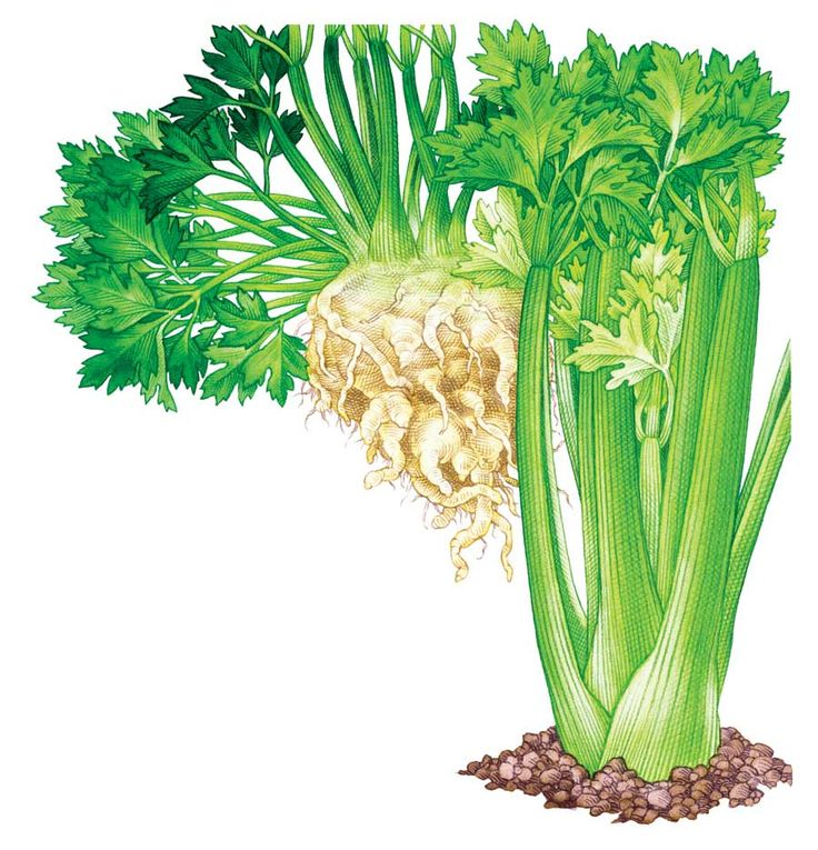 """""""All About Growing Celery"""" By growing celery, you can cut back on or eliminate chemical residues found on nonorganic celery sold at the supermarket. From MOTHER EARTH NEWS"""