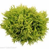 Anna's Magic Ball™ - Arborvitae - Thuja occidentalis | Proven Winners