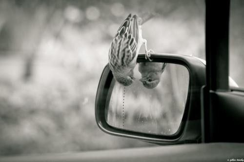 I see you.Photos, Little Birds, Cars Mirrors, Peek A Boos, Beautiful, Photography, Sparrow, Animal, Mirrors Mirrors