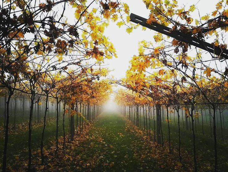 "Autumn in Valpolicella - the light at the end of the tunnel... of ""Pergola Veronese""  #autumn #autunno #foliage #vineyard #vineyards #valpolicella #amarone #vino #wine #vinorosso #vinoitaliano #Italy #italia #wonderlust #wineblog #wineblogger #instagood #instawine #vin #vinho #wein #winetasting #wineissharing"