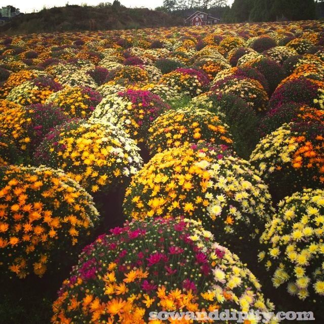 This is an awesome idea. Three different colors of mums in one pot, and it looks like they grew that way.