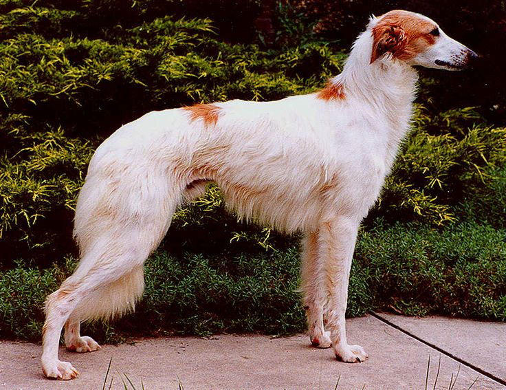 Longhaired Whippet - Longhaired Whippets came about when a Whippet breeder named Walter A. Wheeler Jr. set out to bring out a recessive longhaired gene lurking in the Whippet breed. He found success and introduced his new dogs to the public in the 1970s.