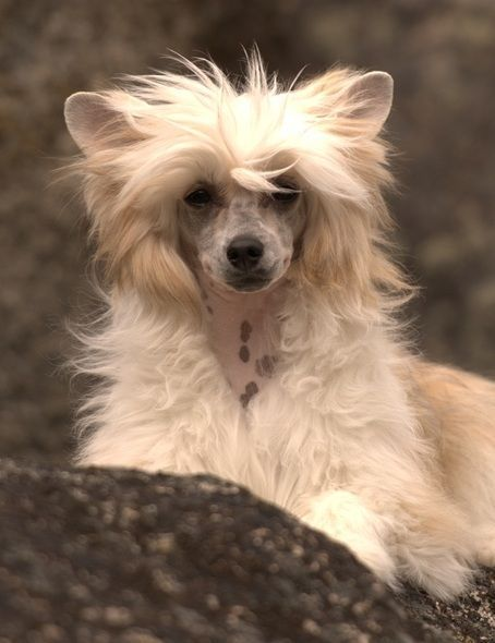 29 Best Chinese Crested Powderpuff Images On Pinterest
