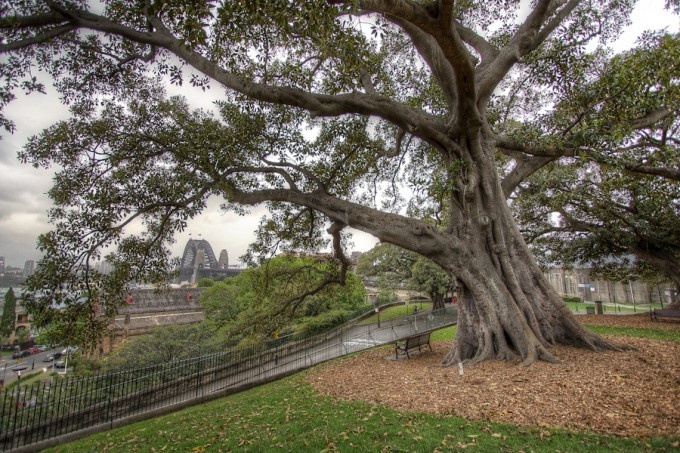 An old oat tree, actually I have no idea what type of tree it is.  You can find it up on Observatory Hill in Sydney and all its glory!