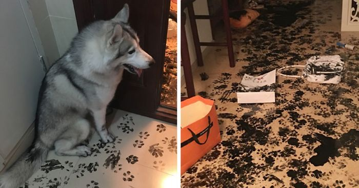 LOOK: This Husky Spent 3 Hours Alone and Made a Mess for the Ages